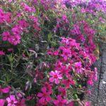花の植え替え✿hanamizuki